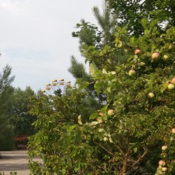 Apples on the amusement park in Pripyat